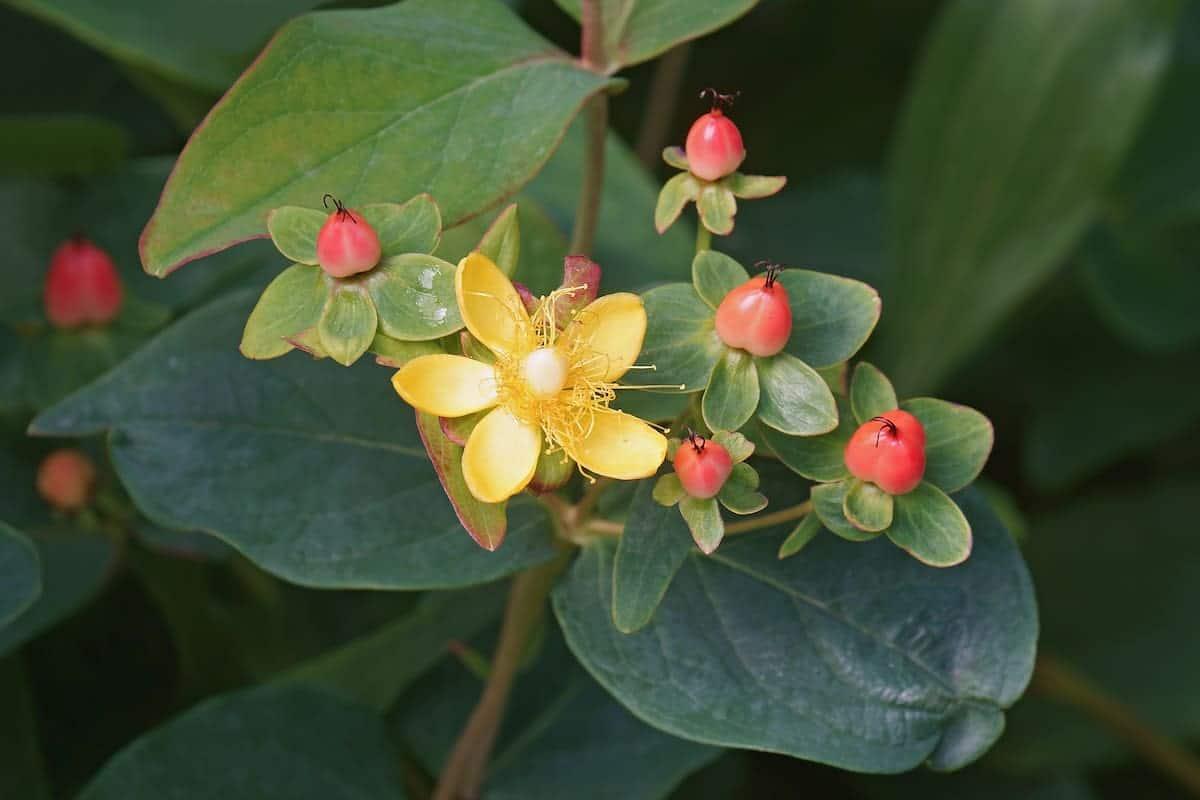すごく控えめだけど綺麗に咲いているヒペリカム
