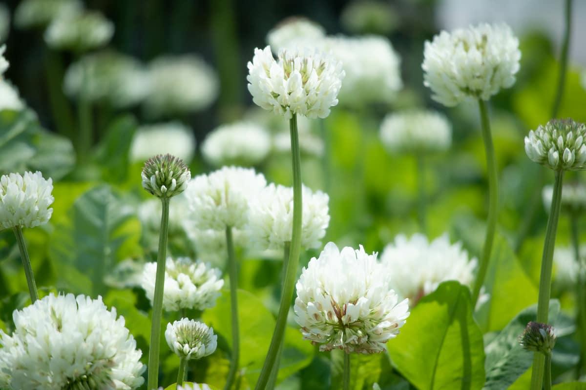 四つ葉のクローバーだけではないお花もきれいなシロツメクサ