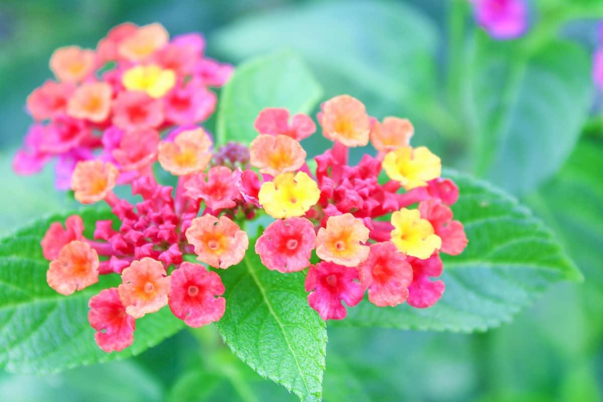 鮮やかに咲くランタナの花