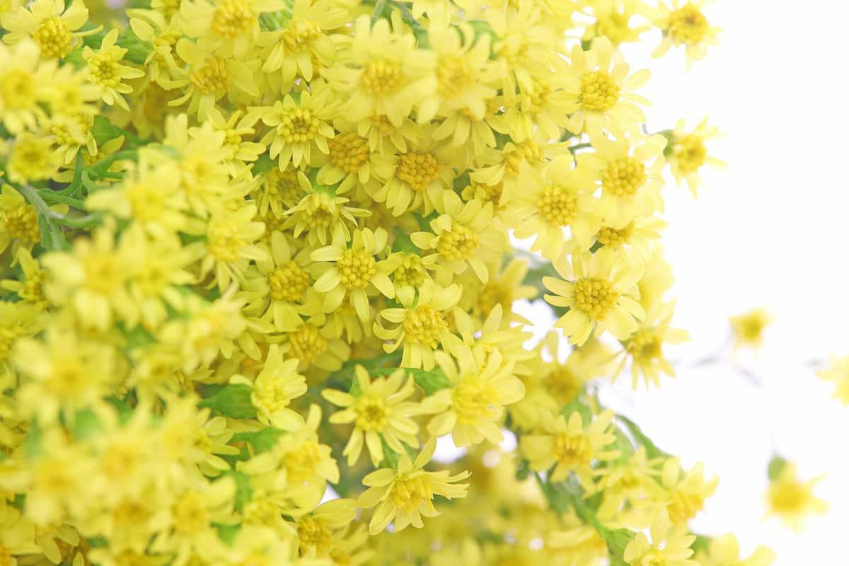 ソリダスターの花束