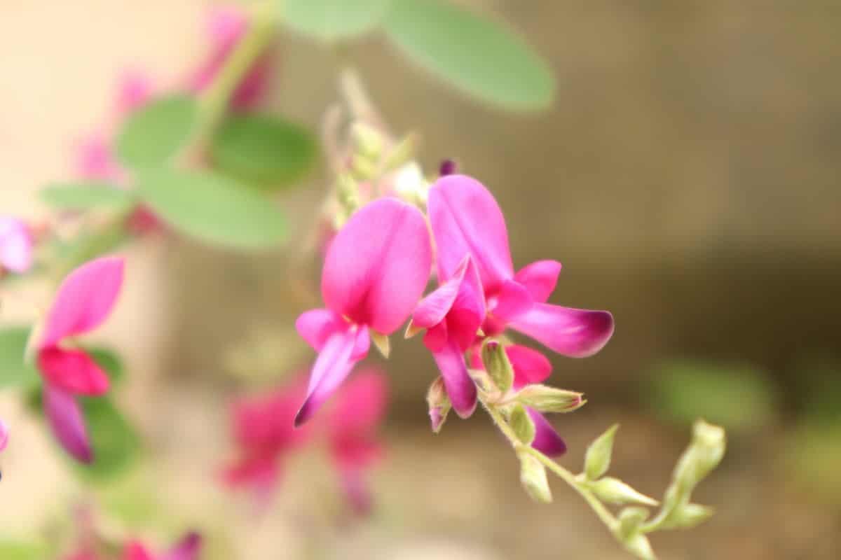 優しく咲いているハギ