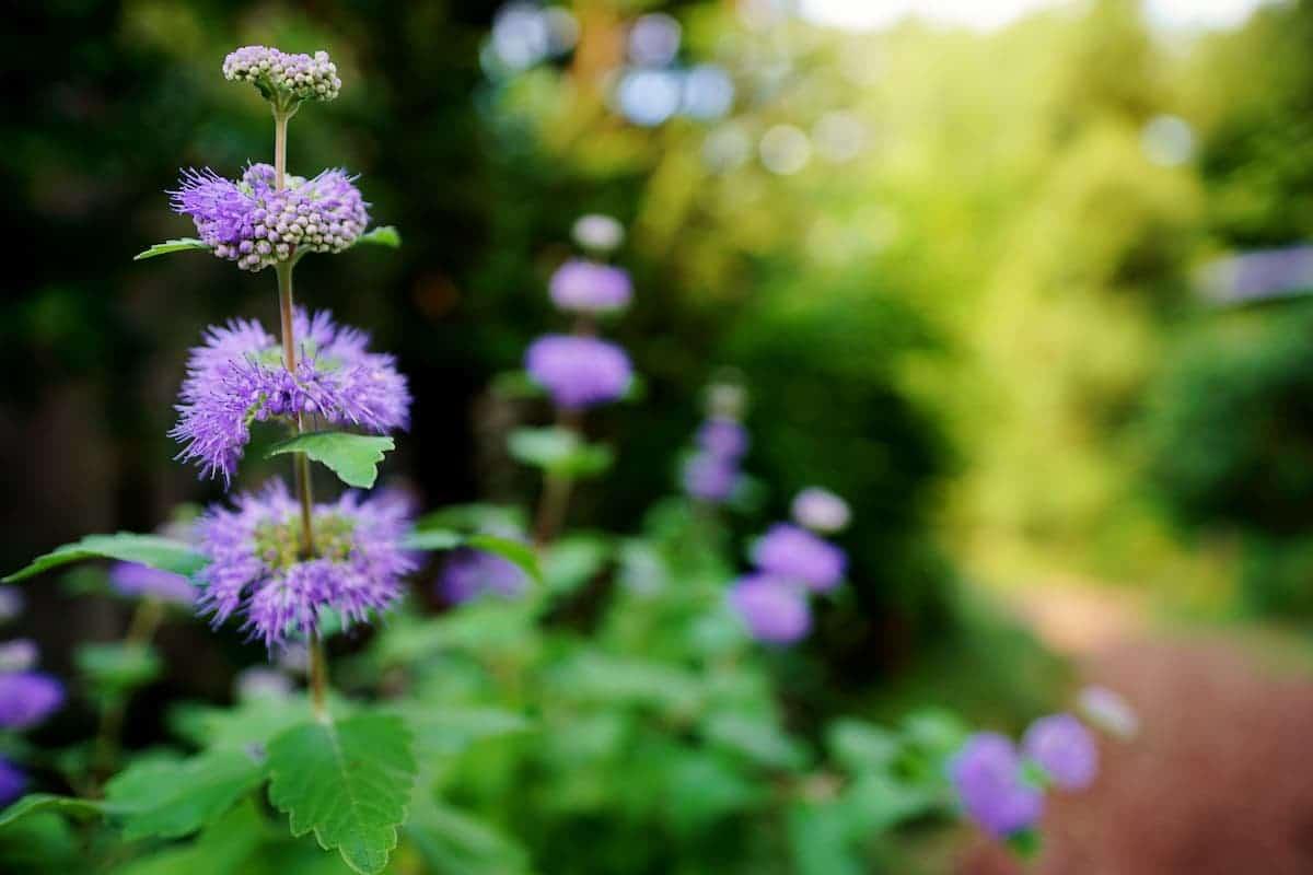 段菊(ダンギク)の花