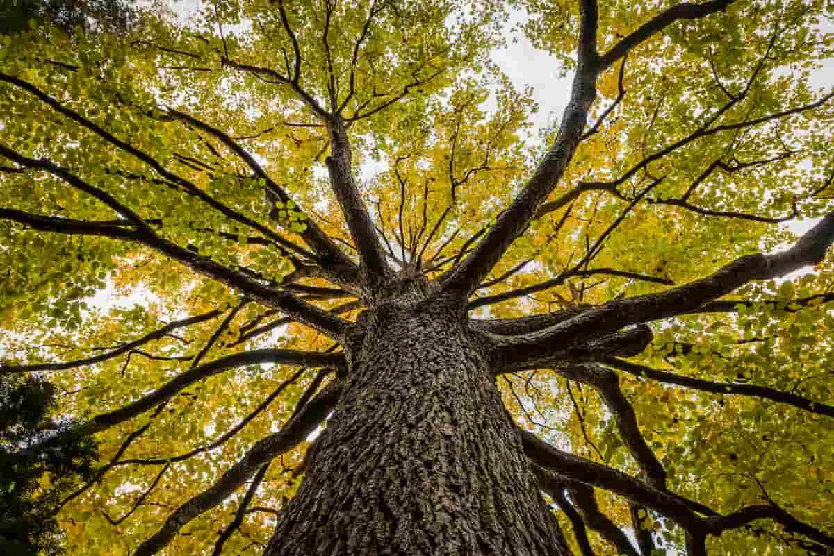 エルムの木