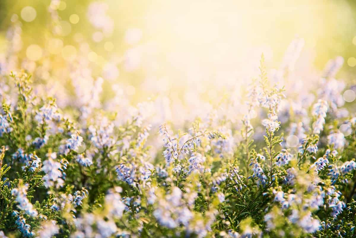 華やかに咲くエリカの鼻