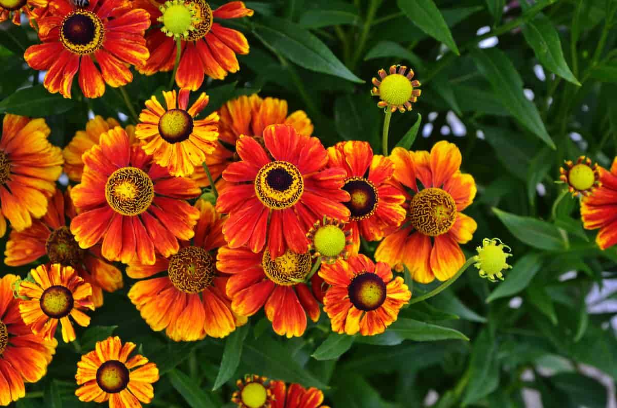 へレニウムの花