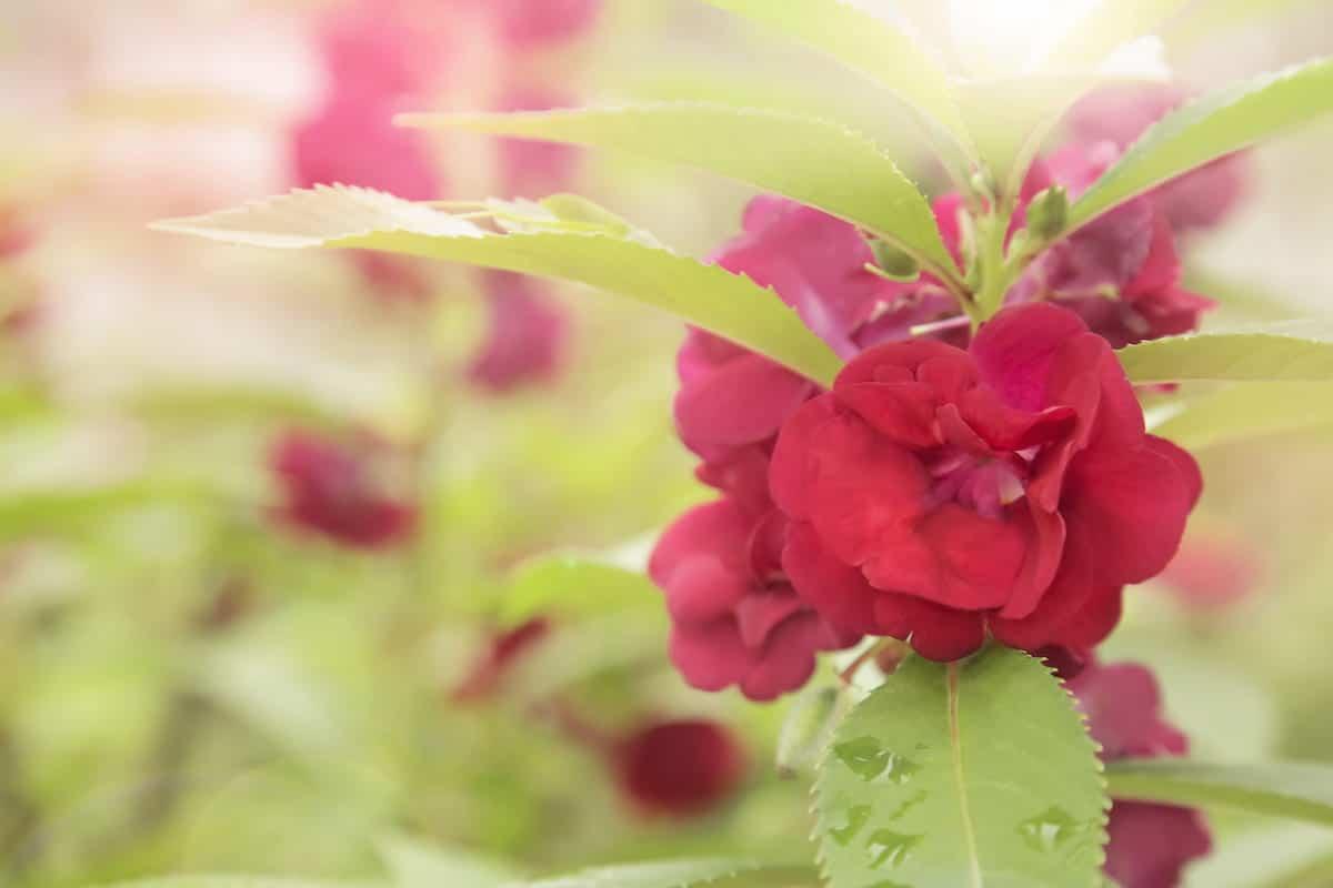鳳仙花(ホウセンカ)の花