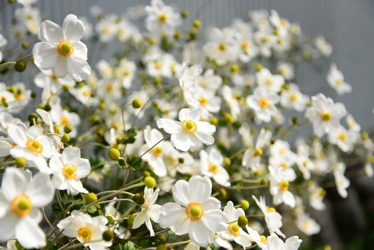きれいに咲いているシュウメイギク
