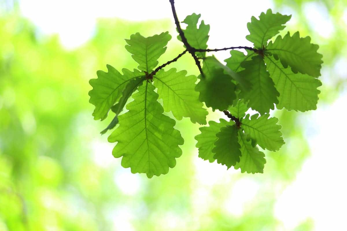 柏(カシワ)の葉