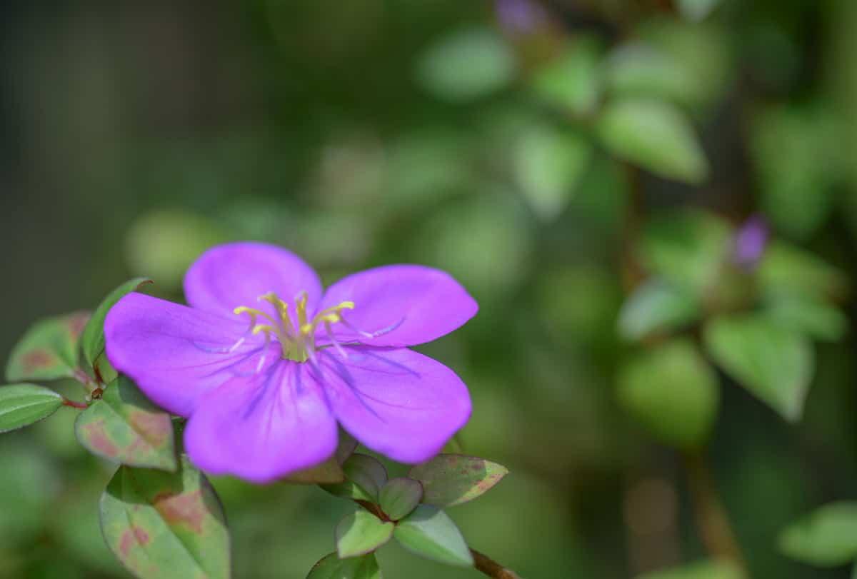 野牡丹(ノボタン)の花