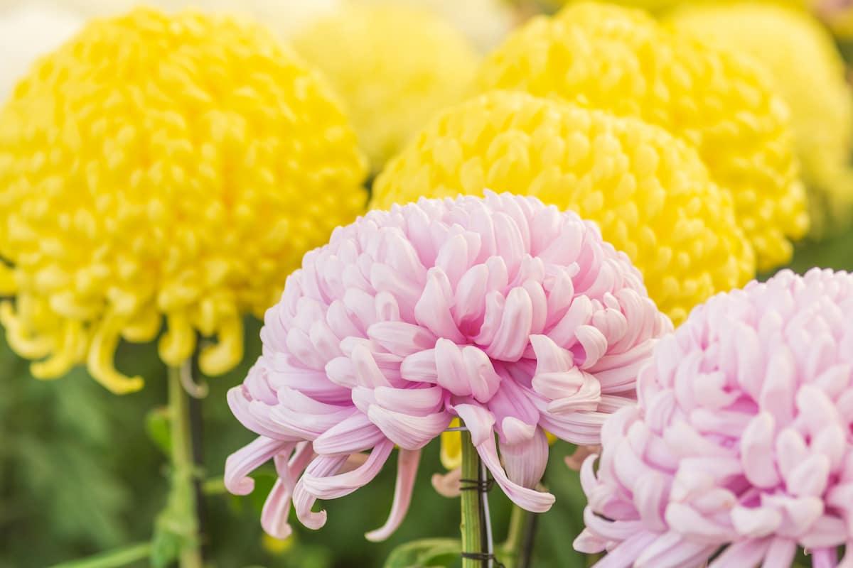 素敵な菊(キク)の花