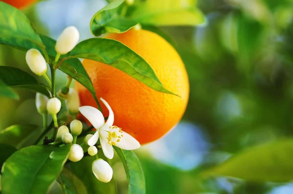 オレンジとオレンジの花