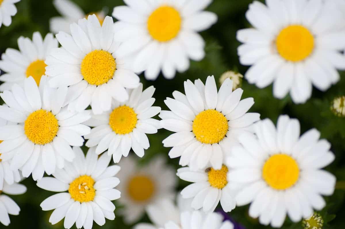 咲きほこるマーガレット