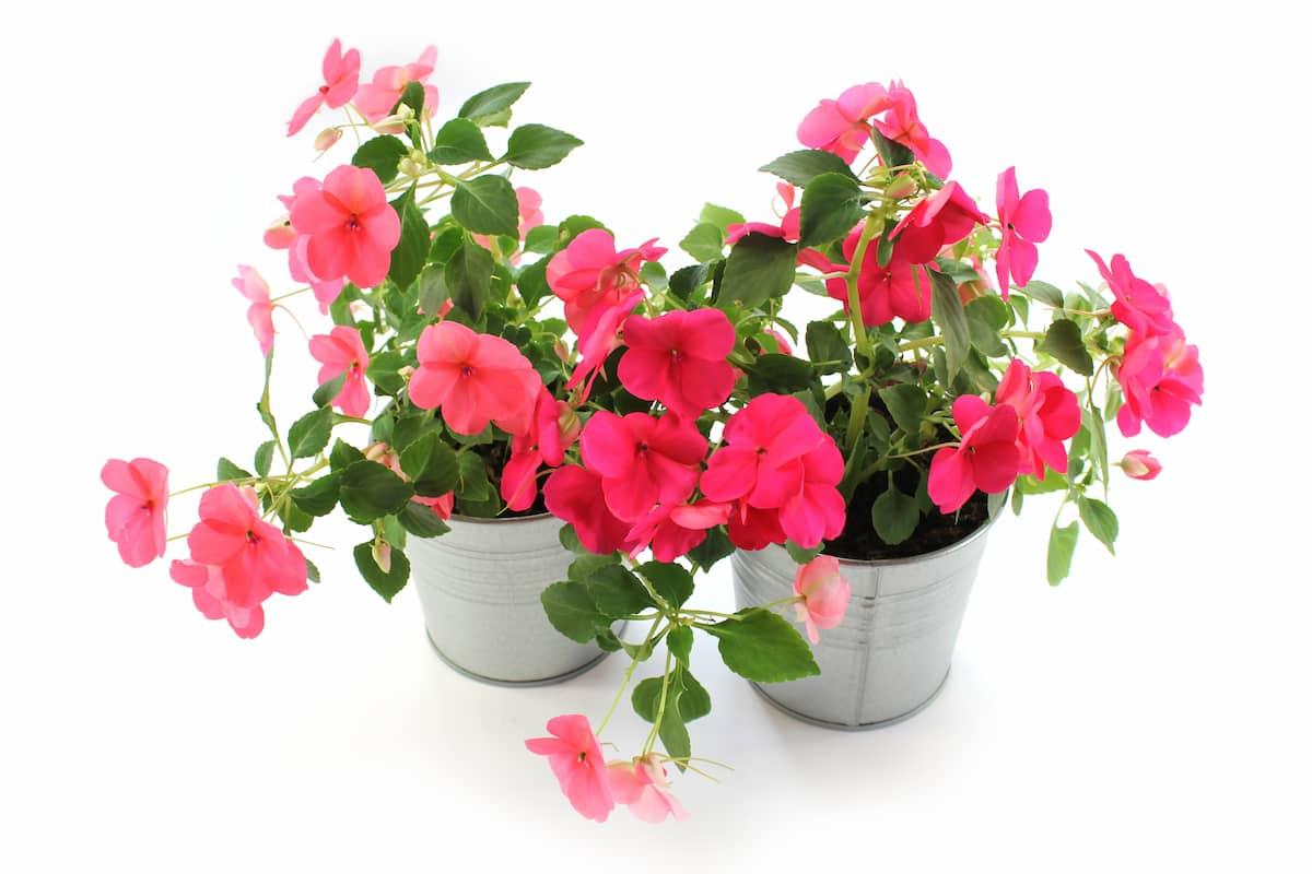 植木鉢できれいに咲くインパチエンス