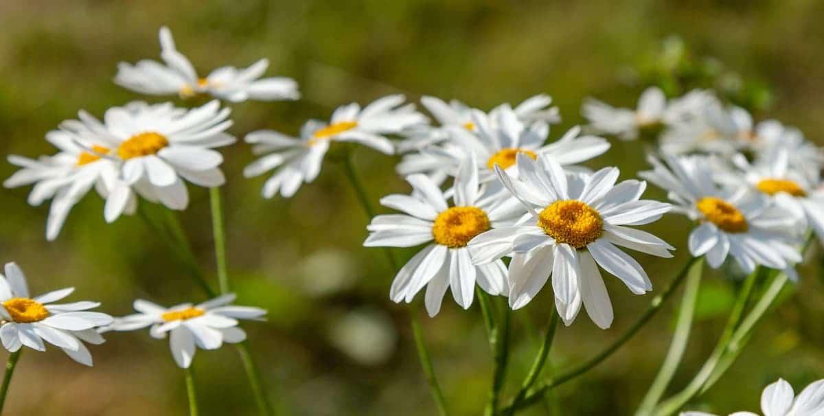 ピレスラムの花