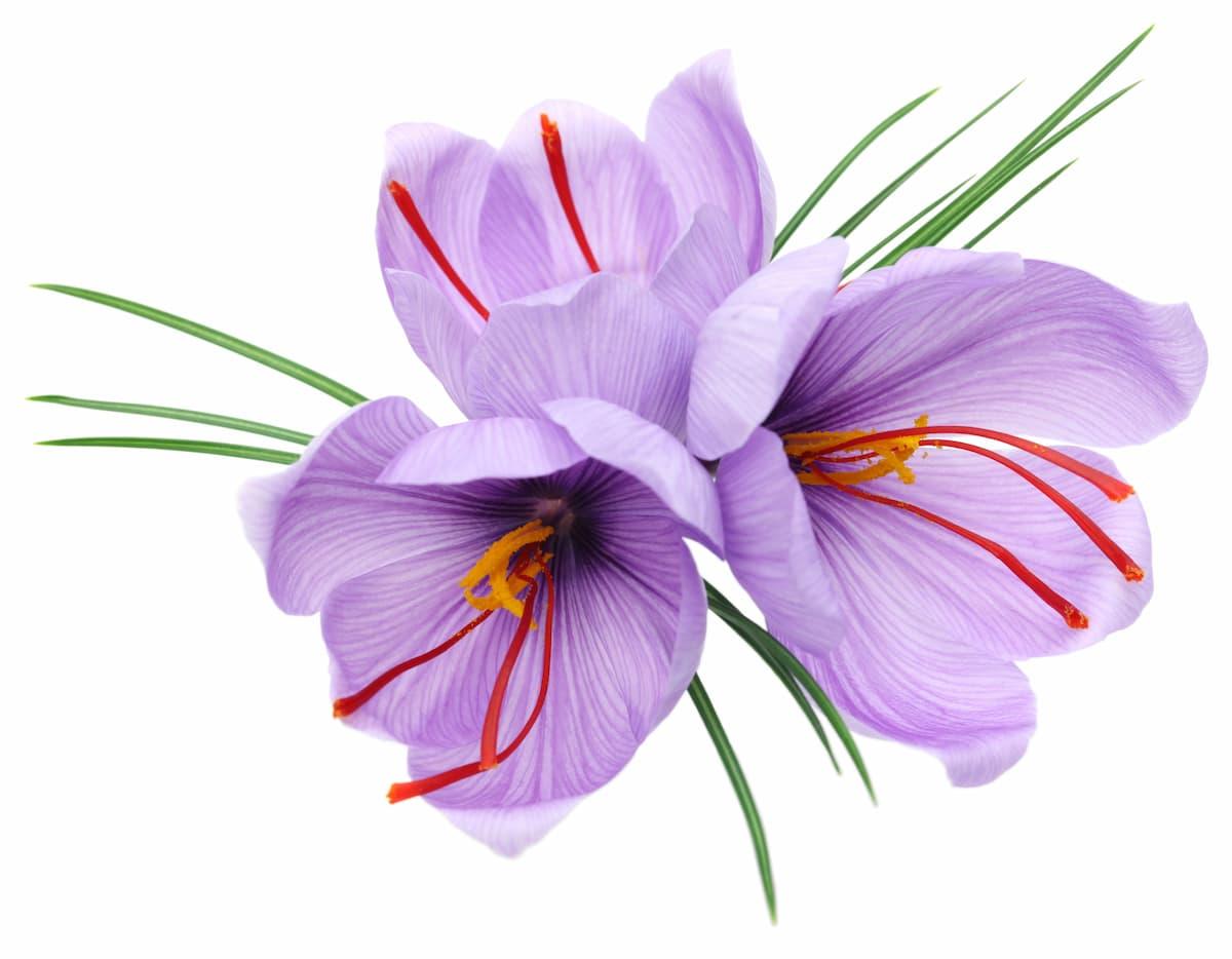 鮮やかに咲くサフラン