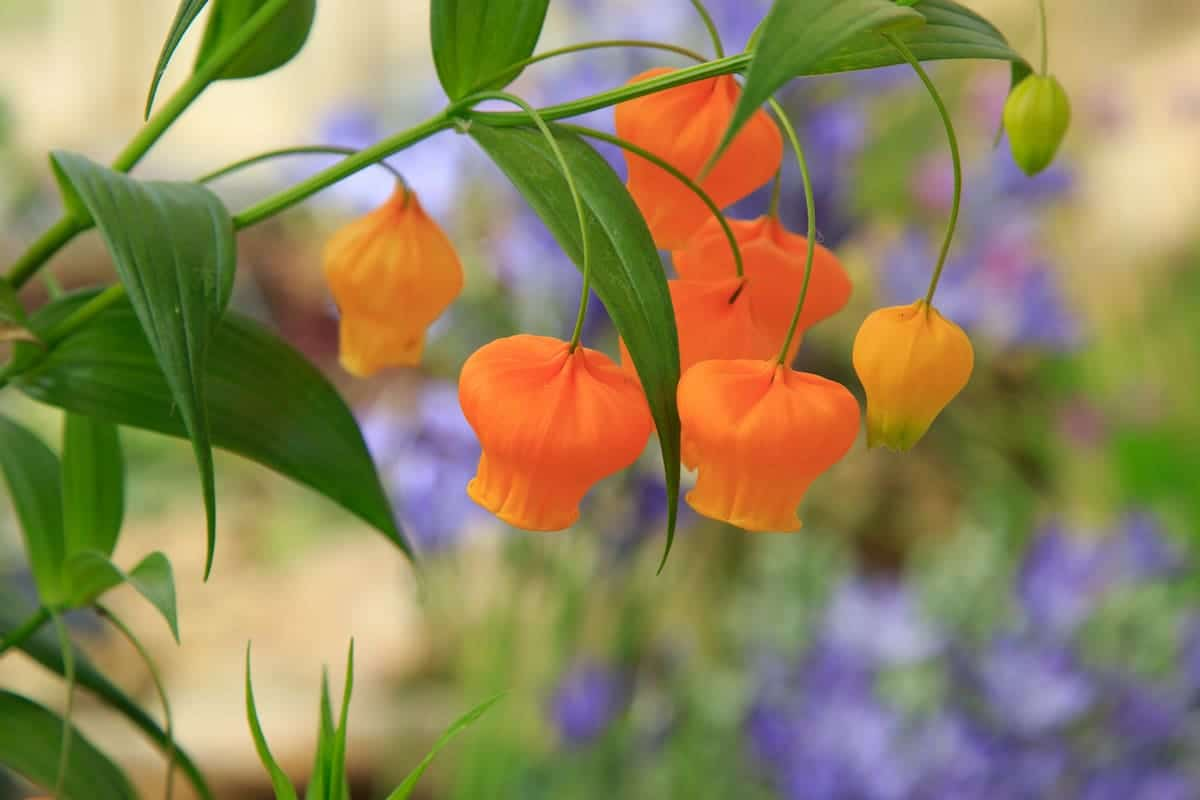 鮮やかなオレンジ色のサンダーソニア