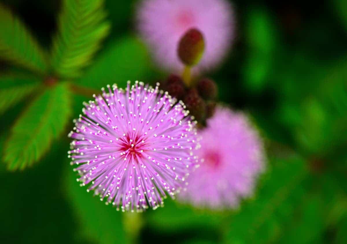 不思議な花弁のオジギソウ