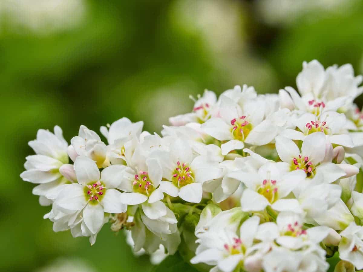 きれいに咲くソバの花