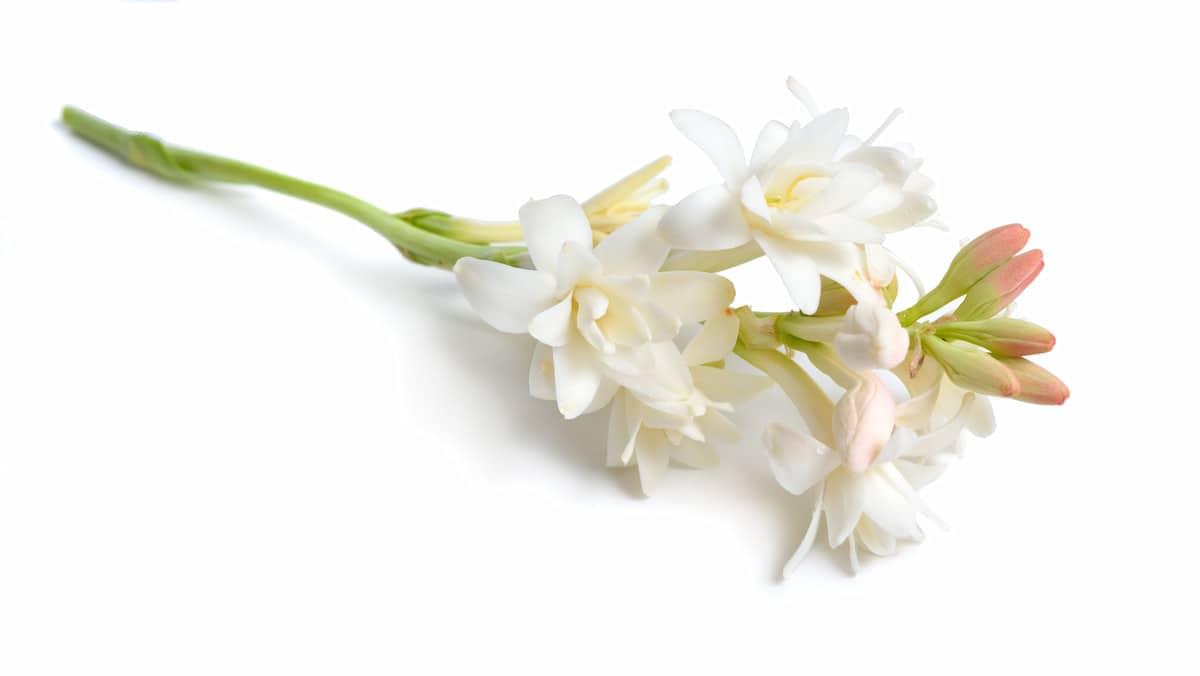 チューベローズの切り花