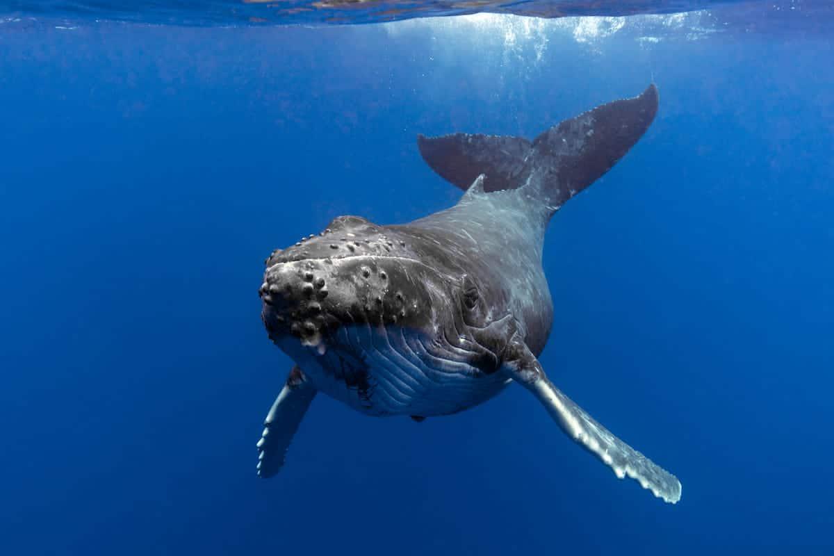 海を悠々と泳ぐクジラ