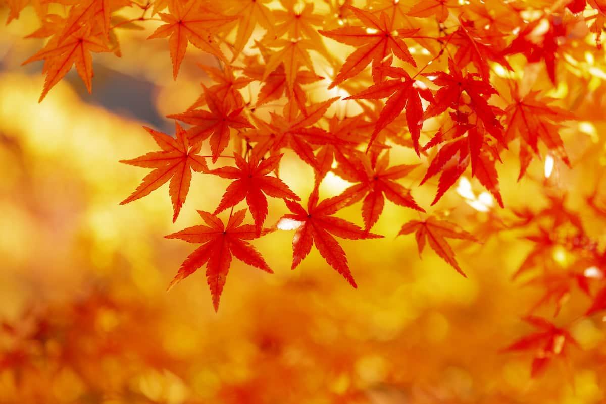 紅葉(こうよう)と紅葉(もみじ)