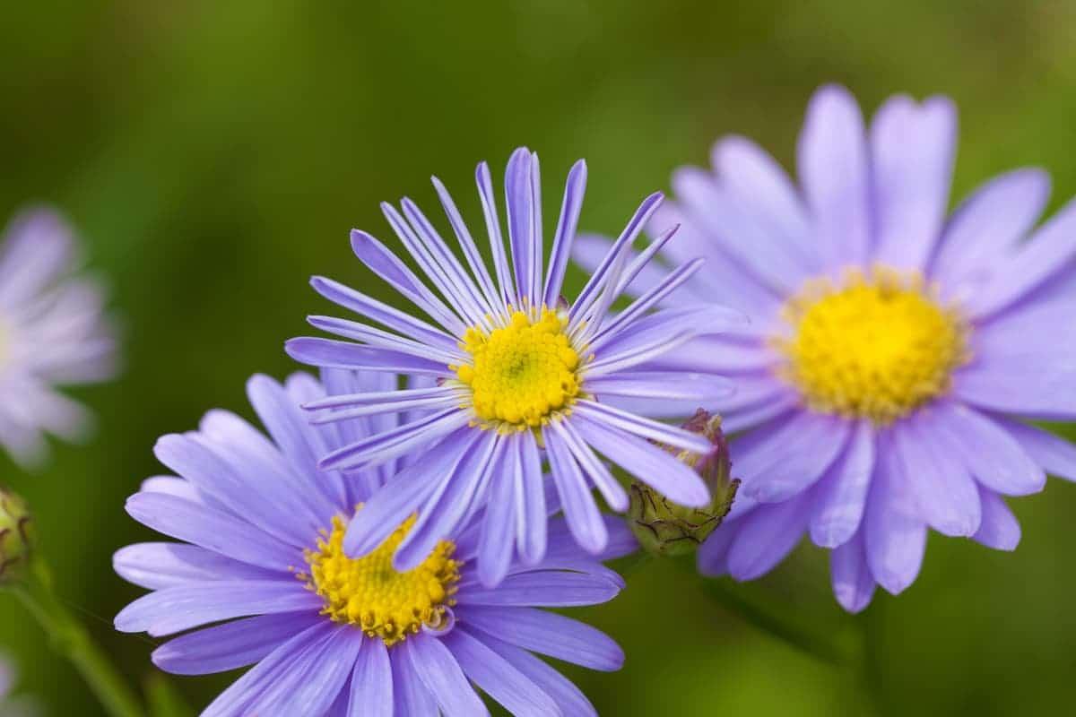 紫苑(シオン)の花