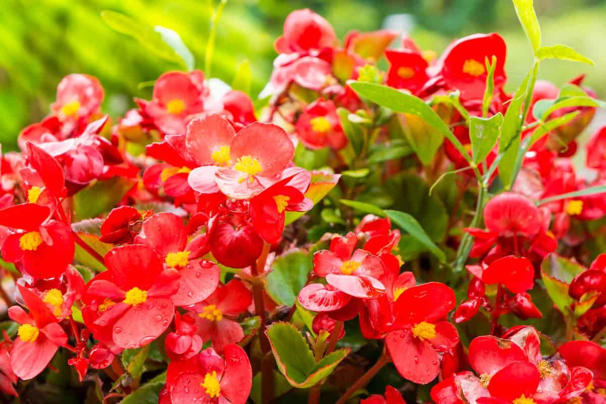 ベゴニア・センパフローレンスの花