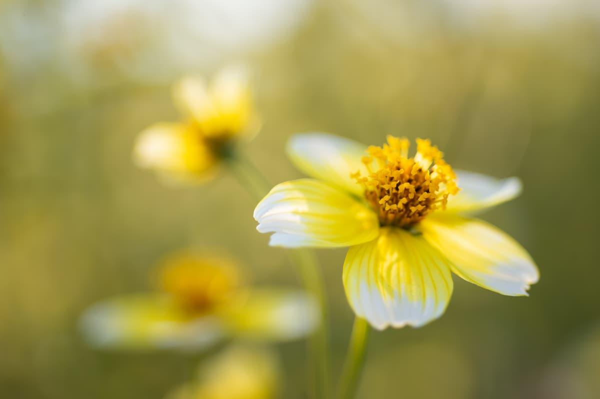 ビデンス・トリプリネルヴィアの花