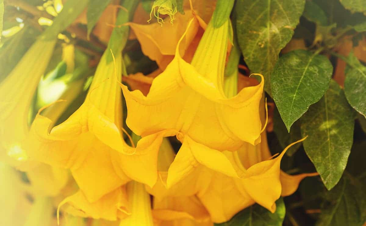 エンジェルストランペットの花