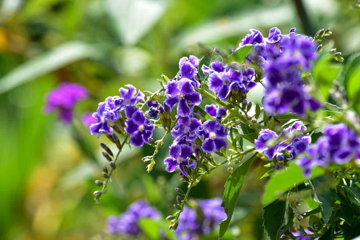 デュランタ・タカラヅカの花