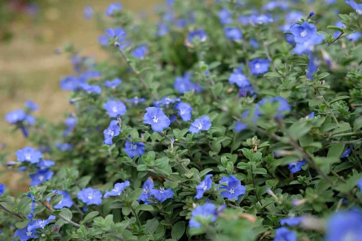 アメリカンブルーの花