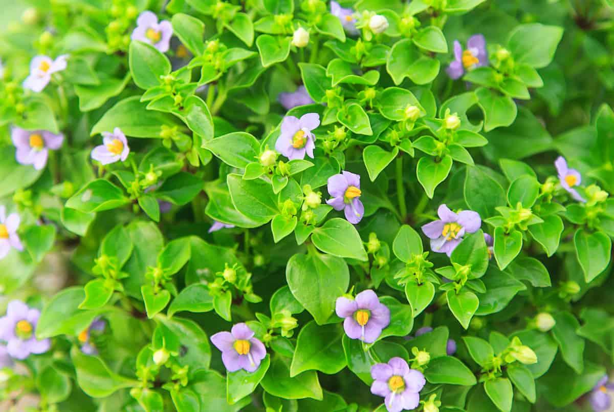 エキザカムの花