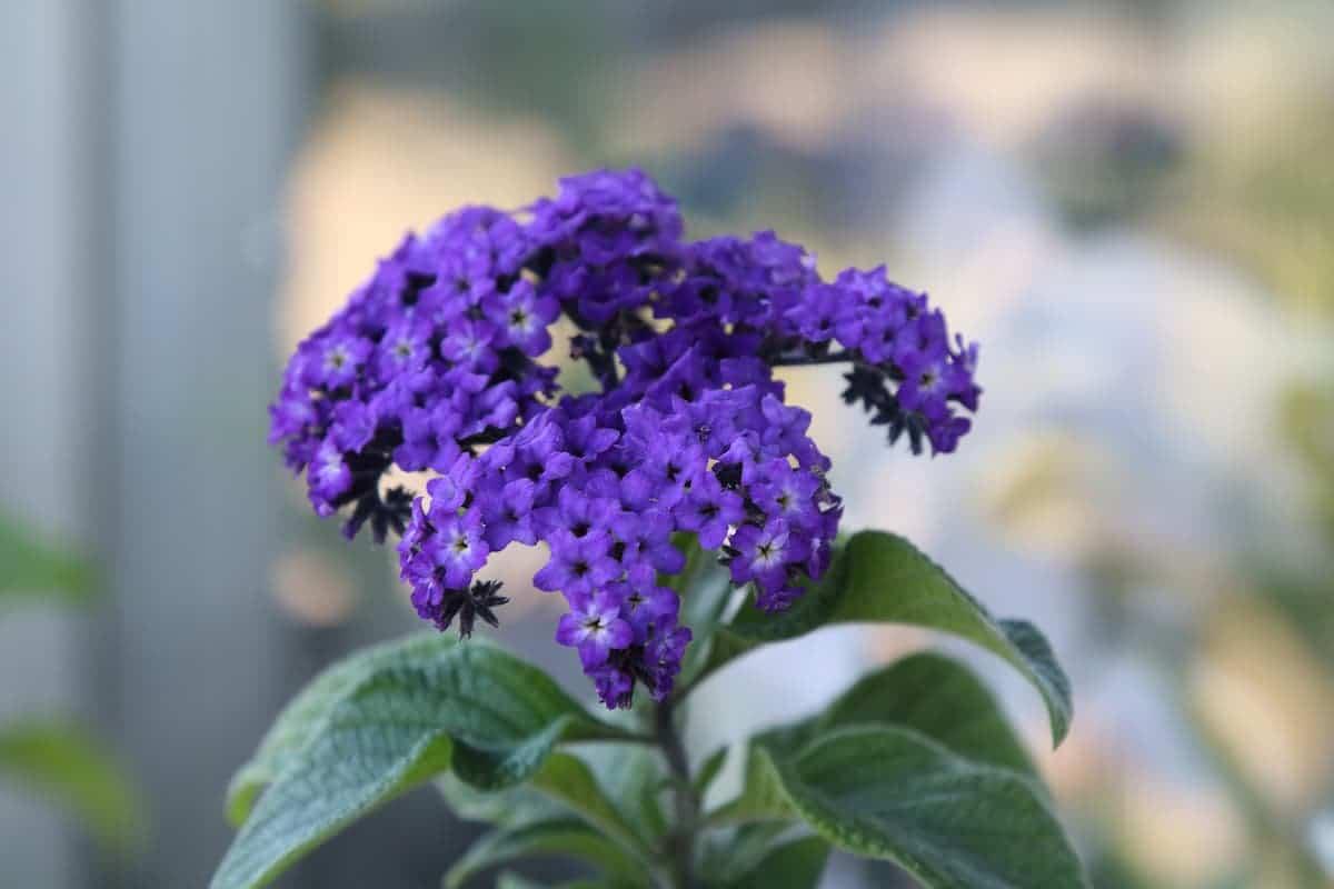 ヘリオトロープの花