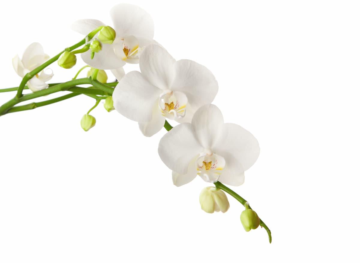胡蝶蘭(コチョウラン)の花
