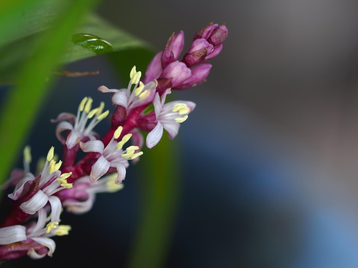吉祥草(キチジョウソウ)の花