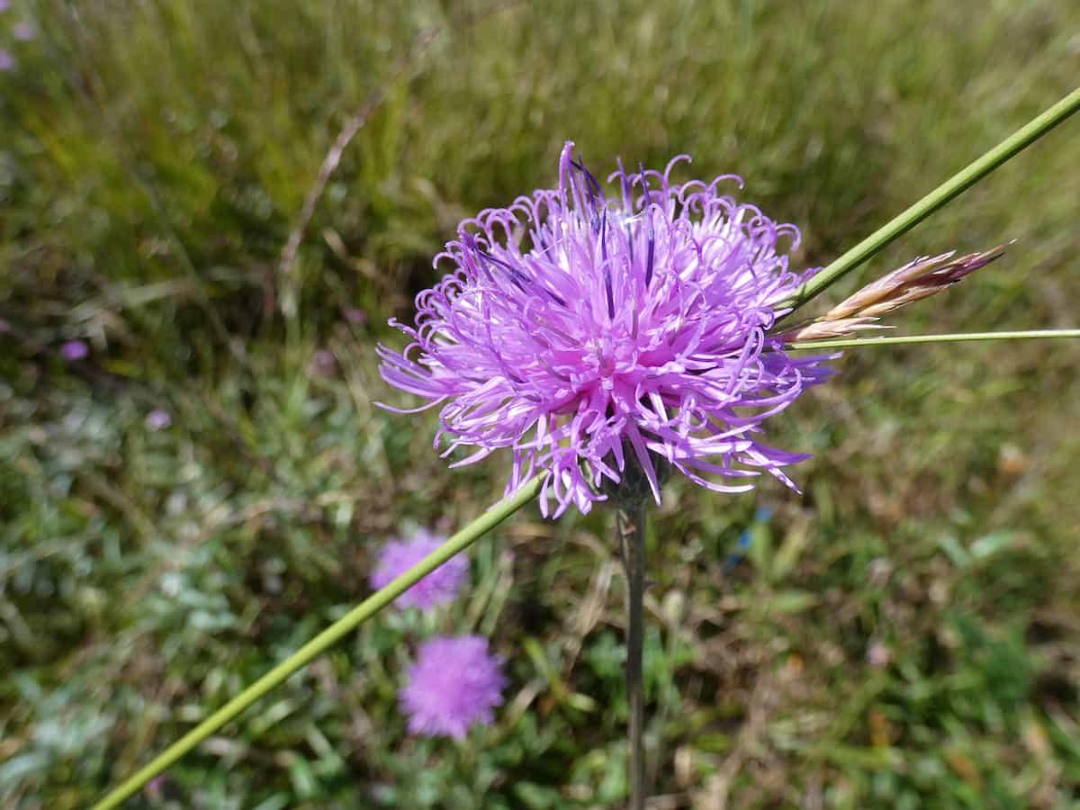 田村草(タムラソウ)の花