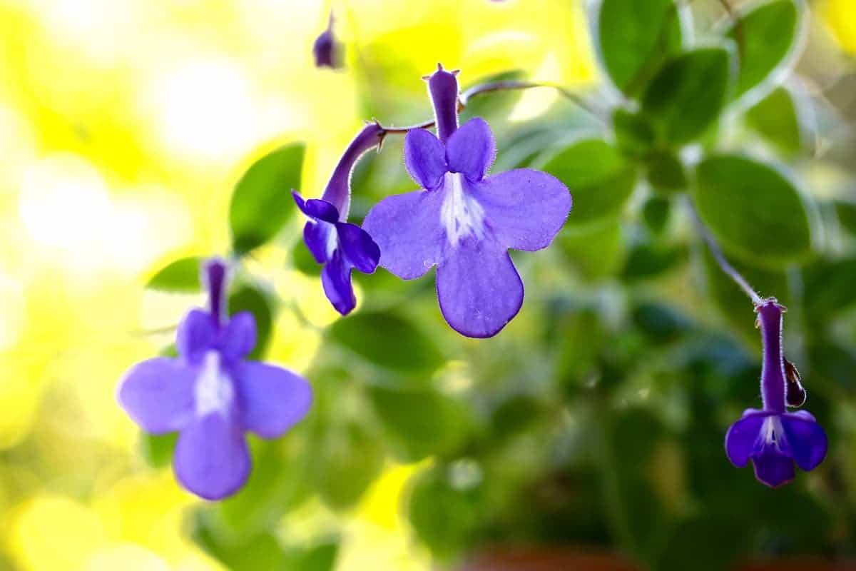 ストレプトカーパスの花